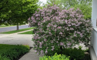 Lilac in front yard